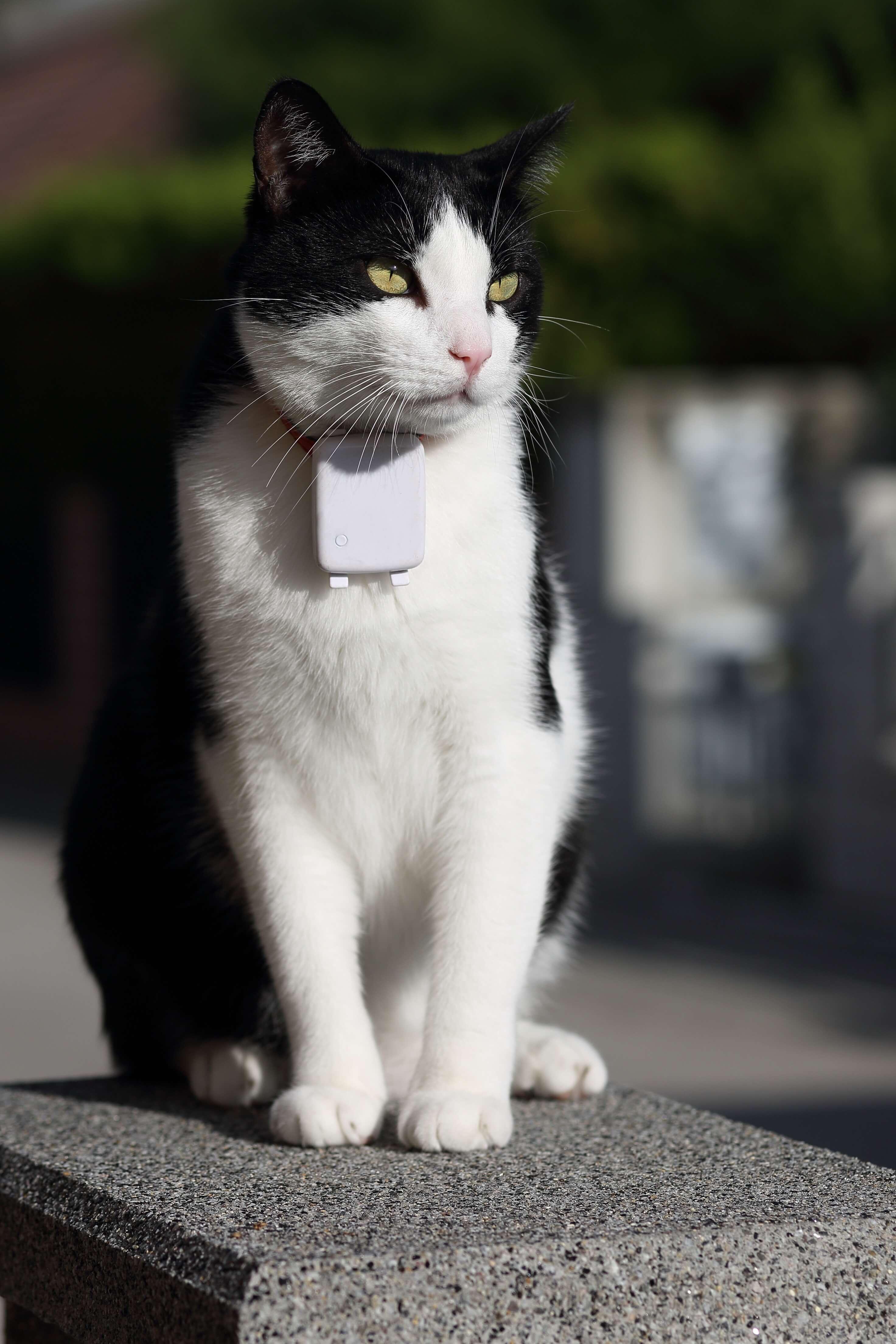 Schwarz weiße Katze mit GPS Tracker